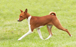 Hound puppy pacing Stock Photography