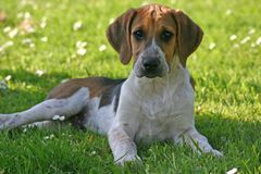 Hound puppy resting. Hound puppy  lying on the grass Royalty Free Stock Image