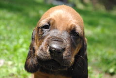 Hound Puppy!. Hound puppy sitting in the grass Royalty Free Stock Image