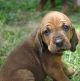 Hound Puppy!. Hound puppy standing in the grass Stock Image