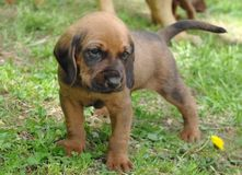 Hound Puppy!. Hound puppy standing in the grass Royalty Free Stock Image