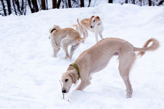 Hound pups in snow Stock Image