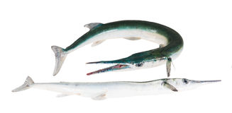 2 houndfish рыб, crocodilus Tylosurus на белой предпосылке Стоковая Фотография RF