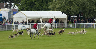 Hounds chasing around arena at Royal Bath and West show 2014 Royalty Free Stock Photo