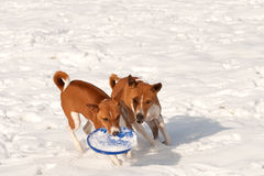 Hounds disputing ownership of a frisbee. Two hounds in the snow, who owns the frisbee Royalty Free Stock Image