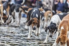 The Hounds. Hunting dogs looking for the food during a French dogs show Royalty Free Stock Photography