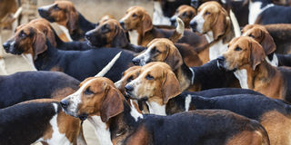 The Hounds. Hunting dogs looking in the same direction to the food Stock Images
