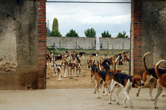 Hounds. A pack of foxhounds in the kennel at Cheverny, a french castle Stock Images