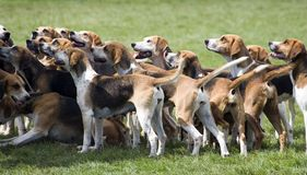 Hounds ready to hunt Royalty Free Stock Images