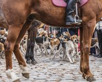The Hounds Show. Hunting dogs in motion framed by a the tamer`s horse legs and body, during a show in rural France Stock Image