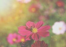 Houney de la consumición de la abeja en el cosmos rosado Fotografía de archivo libre de regalías
