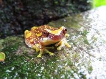 Hourglass Rana arborÃcola Manchada-Dendropsophus ebraccatus Obrazy Royalty Free