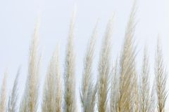 Hours. Leaves of grass of the pampa on Sky Royalty Free Stock Photography