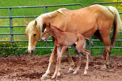 Hours Old. Mother pushes newborn walking horse to stand and walk.  She teaches colt to stay close and closely watches over her baby Royalty Free Stock Photography