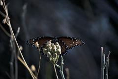 After Hours. A stunning Monarch basking n the last light of day Royalty Free Stock Photography
