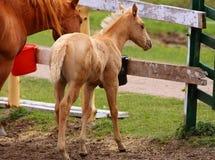 Hourse мати с ее осленком в farmyard Стоковое Изображение RF
