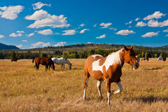 Hourses enjoying the peace in Yellowstone. National Park Stock Photography