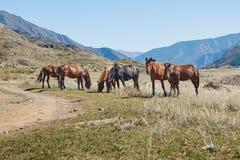 Hourses no estepe de Kurai com as montanhas de Altay em um fundo fotografia de stock royalty free