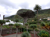Housand-år-gamla Dragon Tree i Tenerife, kanariefågelöar, Spanien Royaltyfri Foto