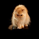 House Adult Persian Cat Of Red Color. Adult house Persian cat of a red color on a black background with illumination by kontrovy light Royalty Free Stock Image