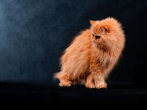 House Adult Persian Cat Of Red Color. Adult house Persian cat of a red color on a black background with illumination by kontrovy light Stock Photography