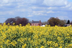 House amongst rapeseed field. A view of a rapeseed field on the Transpenine trail in Lymm, England royalty free stock image