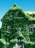 House braided by an ivy Stock Photo