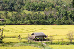 House built in the middle of rice fields. Stock Image