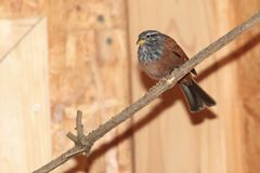 House bunting. Sitting on the branch Stock Photos