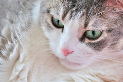 House Cat. A close-up head shot of a domestic house cat Royalty Free Stock Photography