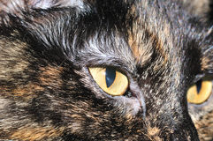 House Cat. A close-up head shot of a domestic house cat Stock Image