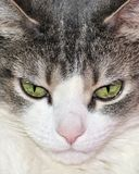 House Cat. A close-up head shot of a domestic house cat Stock Images