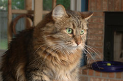 House Cat. A brown long haired house cat royalty free stock image