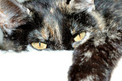 House Cat. A close-up head shot of a domestic house cat Stock Photos