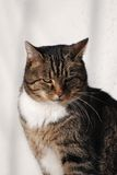 House cat. In front of white background stock photos