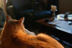 House cat. Orange tabby cat laying on sofa in sun Stock Image