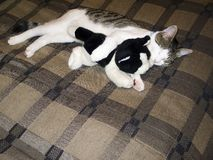 House Cat. A house cat takes a nap with his toy Stock Photo