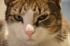 House cat close up watching. Royalty Free Stock Image