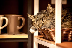 A house cat, comfortably curled in the basket. Grey, big muzzle Stock Photography