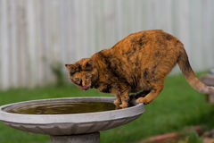 House Cat Drinking from a Bird Bath. A house cat comes to the bird bath for a drink, and maybe to catch a bird Royalty Free Stock Photography