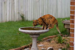 House Cat Drinking from a Bird Bath. A house cat comes to the bird bath for a drink, and maybe to catch a bird Stock Photo