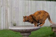 House Cat Drinking from the Bird Bath. A house cat comes to the bird bath for a drink, and maybe to catch a bird Stock Photos