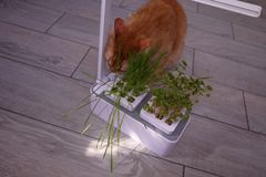 House cat eating grass. The grass grows especially for the cat to get the necessary vitamins by eating it.// stock photo