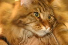 House Cat Face. Over filtered face of orange tiger cat royalty free stock image