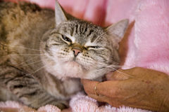 House cat getting scratched Royalty Free Stock Photos