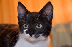 A small black and white cat with big green eyes Royalty Free Stock Photo