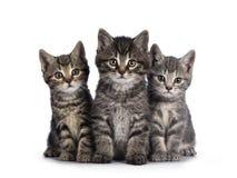 House cat kittens on white background