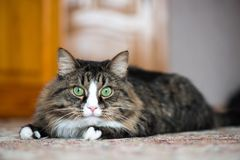 The house cat hunts. The house cat lies on the carpet and hunts royalty free stock photo