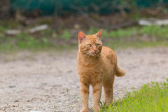 House cat Royalty Free Stock Image