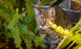 House Cat Lurking. Behind fern Royalty Free Stock Image